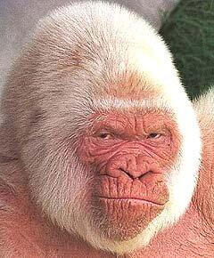 goryl albinos w hiszpanii